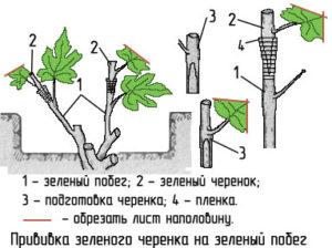 Виноград лора описание сорта