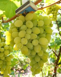 Vinograd-Augustin