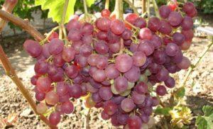 Сорт Ливия виноград