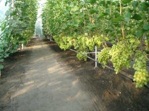 Виноград в теплице