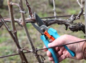 obrezka vinograda vesnoy
