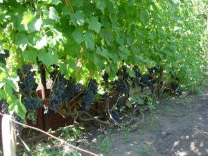 vinograd kadryanka