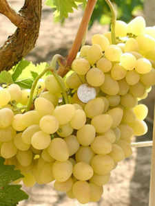Vinograd-Arkadiya