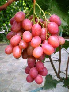 Виноград анюта описание сорта фото отзывы