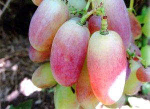 виноград фото и описание юлиан