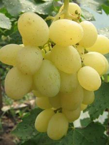Виноград кеша 1 описание сорта фото отзывы