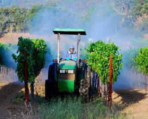 antraknoz-vinograda-lechenie-foto-5-300x241