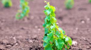 Виноград из косточки в домашних условиях