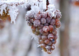 promorozhennyj-vinograd-budet-luchshe-brodit