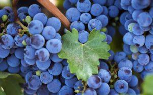 vinograd_izabella_logo