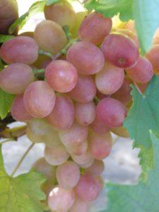 vinograd-gurman-lakomka