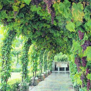 Как сделать виноград аркой 390