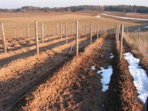 Как правильно укрыть на зиму виноград