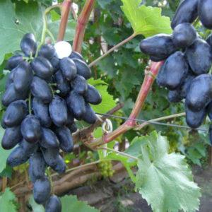 Виноград велика описание сорта фото отзывы