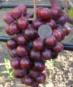 Виноград Подарок Запорожью - описание и характеристика сорта