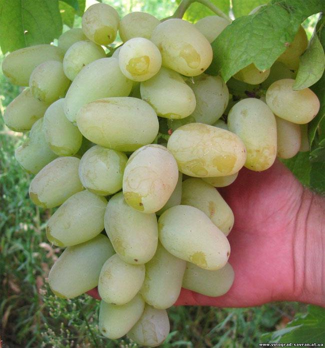 фото сорта винограда с фото для ростова на дону первым