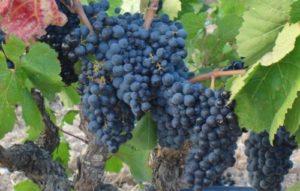 Виноград Денисовский: описание сорта, особенности ухода